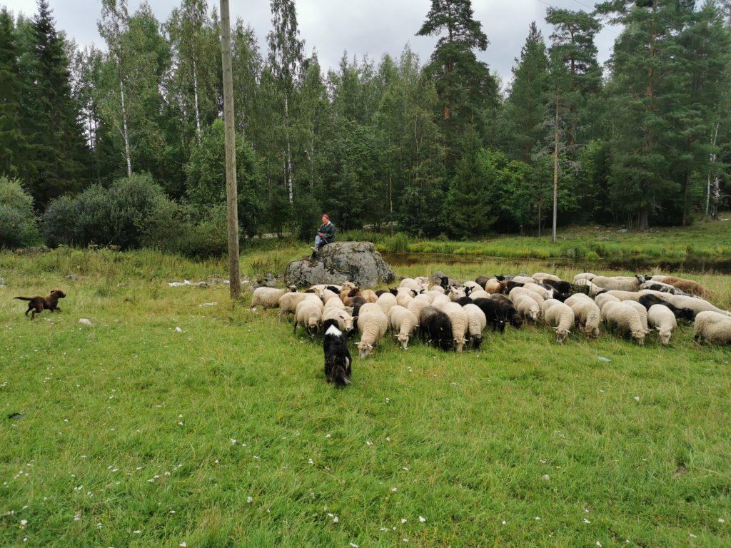 Sinikka und die Schafe