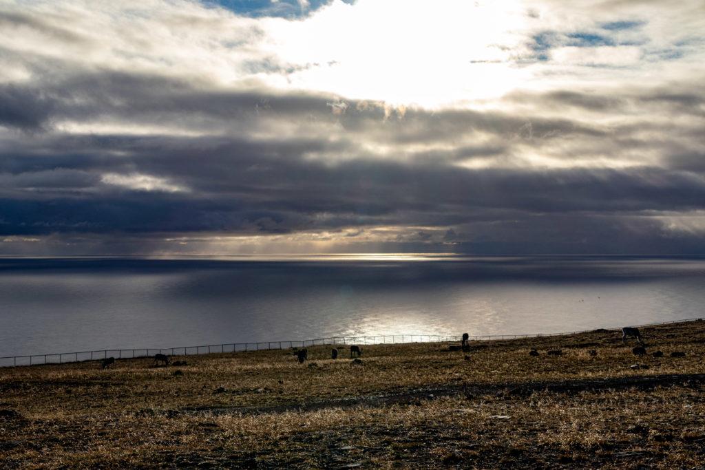 Rentiere am Nordkapp